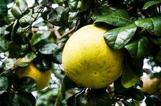 Free Grapefruit Stock Photos - 34722923
