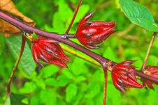 Free Roselle Fruits On Tree In Garden Stock Photography - 34723162