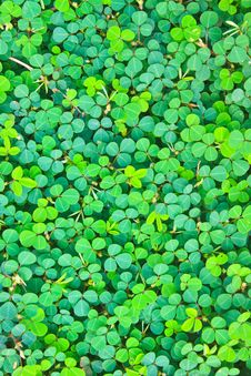 Free Pattern Oxalis Acetosella Background Nature Stock Photography - 34723602