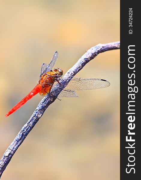 Red dragonfly on tree branch