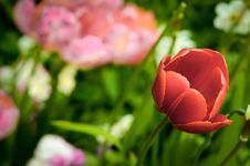 Free Flowerbed With Tulip Royalty Free Stock Images - 34746389