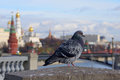 Free Dove At The Patriarchal Bridge On The Background Panorama Of The Stock Images - 34756814