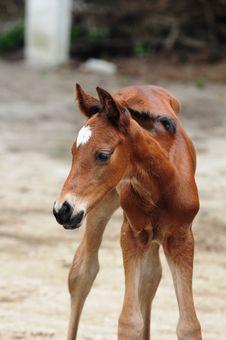 Free New Born Colt Royalty Free Stock Images - 34751209