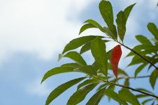 Free Red Leaf Royalty Free Stock Images - 34754109