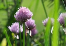 Free Chive Flowers In Garden Royalty Free Stock Photos - 34757888