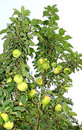 Free Fruits Are Apples On The Branches Of An Column Apple-tree Royalty Free Stock Photo - 34761545