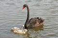 Free Wild Black Swans Royalty Free Stock Photos - 34763708