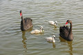 Free Wild Black Swans Stock Image - 34763761