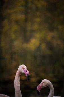 Free Flamingo Portraits Royalty Free Stock Images - 34760559