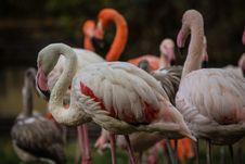 Free Flamingo Portraits Royalty Free Stock Image - 34760626