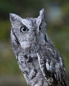 Free Northern Screech Owl Royalty Free Stock Images - 34761119