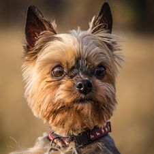 Free Yorkshire Terrier Stock Photos - 34761373