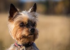 Free Yorkshire Terrier Royalty Free Stock Images - 34761389