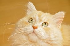 Free Portrait Long Hair Cat Royalty Free Stock Images - 34761759