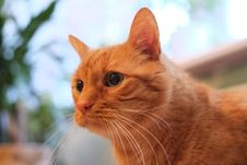 Free Orange Cat. Royalty Free Stock Photos - 34762078