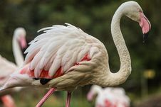 Free Flamingo Detail Stock Photos - 34762203