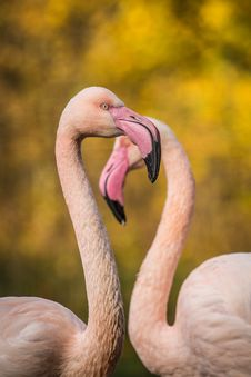 Free Flamingo Portraits Royalty Free Stock Images - 34762219