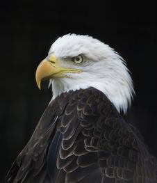 Free Eagle Portrait Royalty Free Stock Photography - 34762317