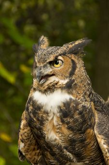 Free Great Horned Owl Royalty Free Stock Photos - 34762448
