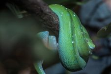Free Green Snake Stock Photography - 34762592