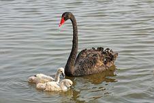 Wild Black Swans Royalty Free Stock Photos