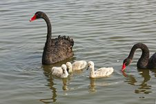 Wild Black Swans Royalty Free Stock Images