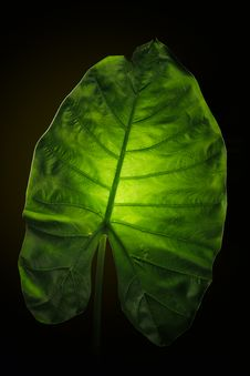 Free Elephant Ear Leaf. Royalty Free Stock Images - 34767849