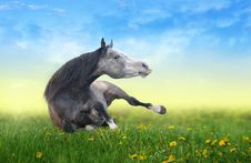 Free Horse Lying On The Field Of Dandelions At Dawn Royalty Free Stock Photos - 34771988