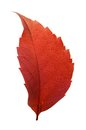 Free Red Woodbine Leaf Royalty Free Stock Photo - 34785785