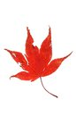 Free Red Maple Leaf Stock Image - 34786701