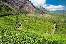 Free Tea Plantation In Munnar Royalty Free Stock Images - 34786969