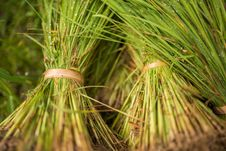 Free Young Rice Plant Royalty Free Stock Image - 34787036