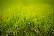 Free Field Of Young Rice Plant Royalty Free Stock Photography - 34787047