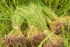 Free Young Rice Plant Stock Images - 34787064