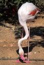 Free Flamingo Royalty Free Stock Images - 3480319