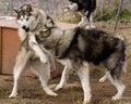 Free Eskimo Dogs Stock Photos - 3482933