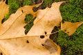 Free Dead Maple S Leaf Stock Photos - 3486753