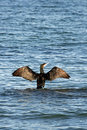 Free A Black Cormorant Royalty Free Stock Photos - 3487168