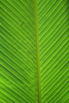 Free Platanilla Leaf Royalty Free Stock Photos - 3483328