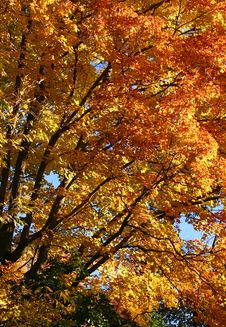 Free Fall Maple Royalty Free Stock Photography - 3484367