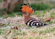 Free Eurasian Blackbird Turdus Meru Stock Image - 3485071