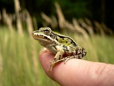 Frog On Finger Stock Images