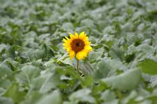 Free Sunflower In The Filed Royalty Free Stock Photos - 3485708