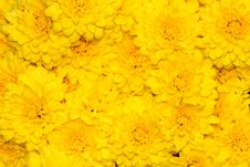 Free Yellow Mum Background Royalty Free Stock Photography - 3486987