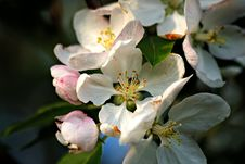 Free Apple Blossom Background Stock Photos - 3487013
