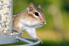 Free Chipmunk Raider Stock Photography - 3487142