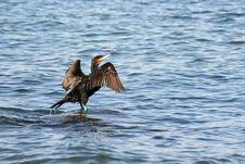 Free A Black Cormorant Stock Images - 3487144