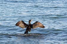 Free A Black Cormorant Royalty Free Stock Images - 3487159