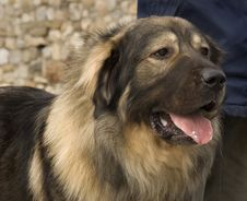 Free Beatiful Mountain Dog Stock Photo - 3487750