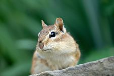 Free Chipmunk Stock Images - 3488514